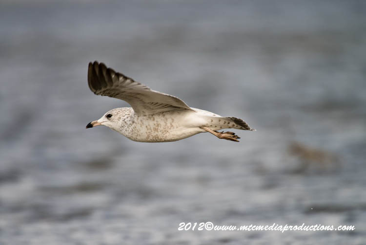 Ringbilled Gull Picture-272
