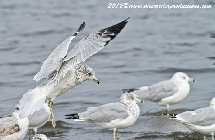 Ringbilled Gull Picture-275