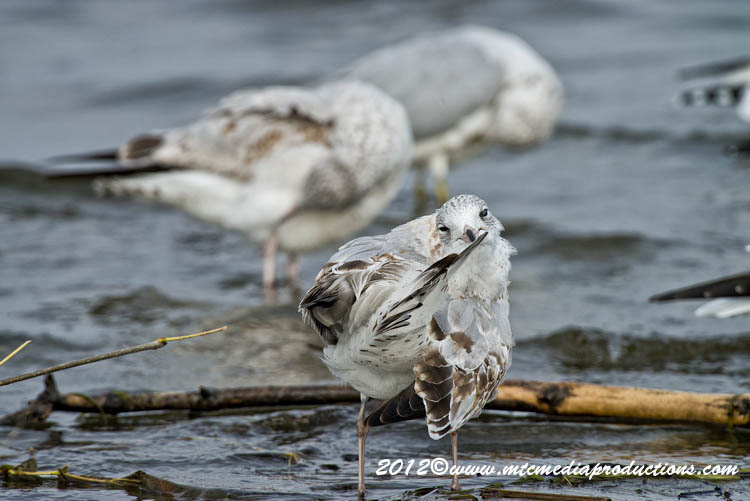 Ringbilled Gull Picture-276