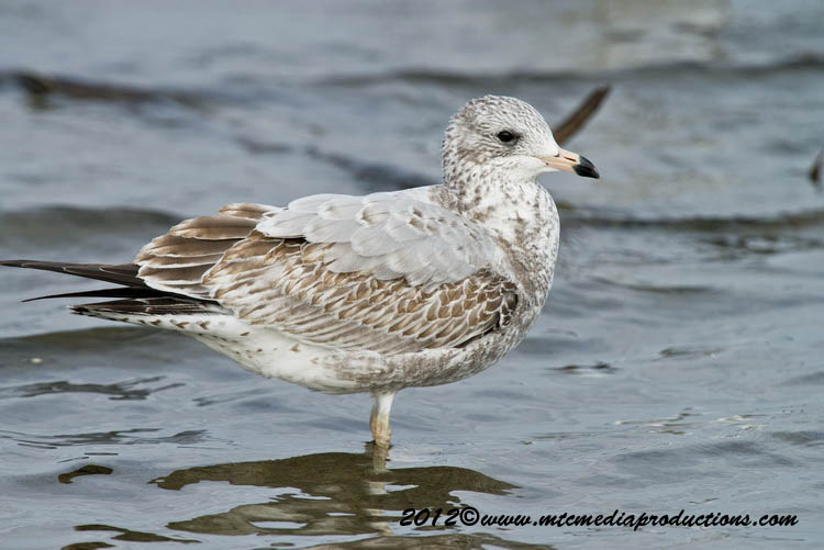 Ringbilled Gull Picture-277