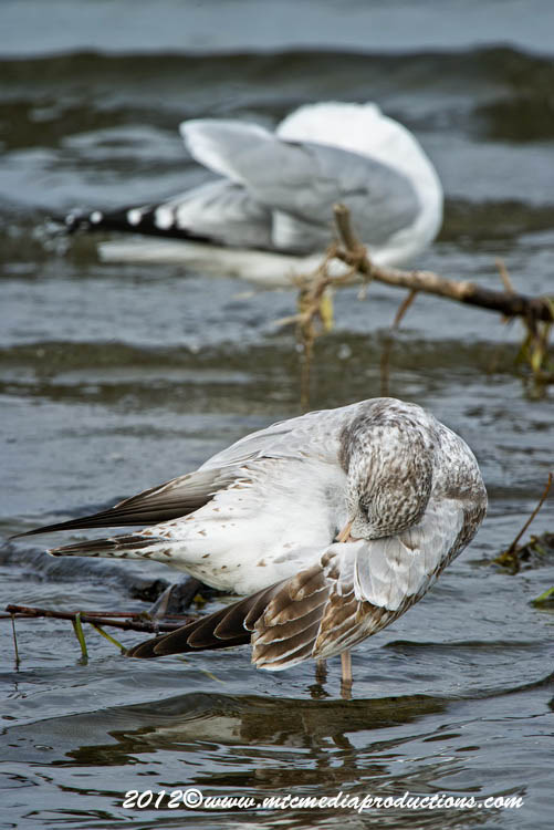 Ringbilled Gull Picture-278