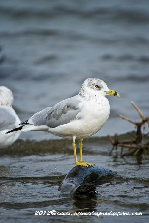 Ringbilled Gull Picture-280