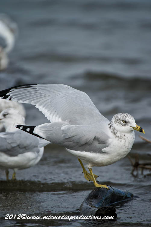 Ringbilled Gull Picture-281