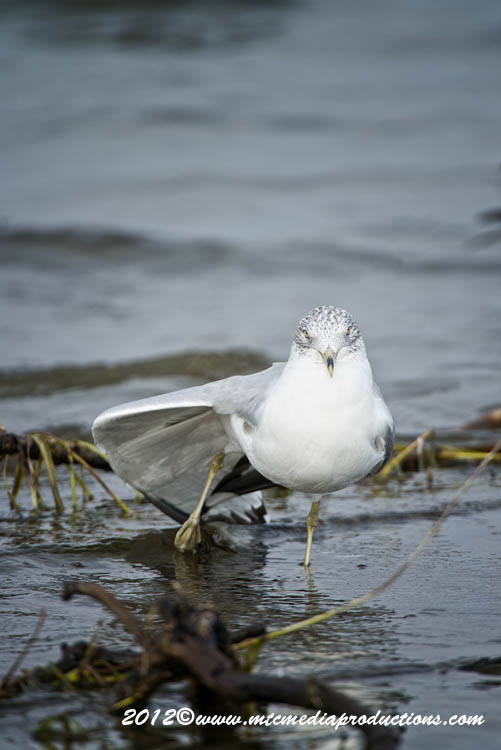 Ringbilled Gull Picture-282