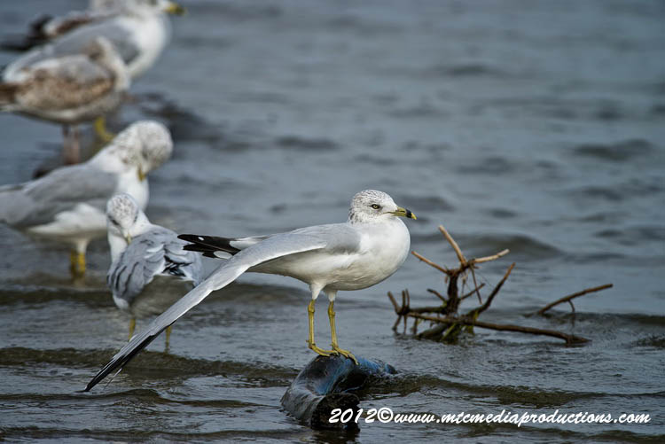 Ringbilled Gull Picture-285