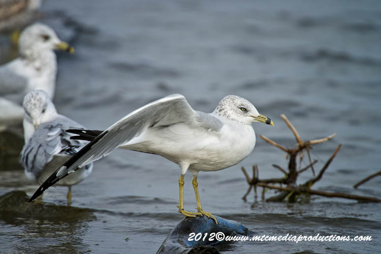 Ringbilled Gull Picture-286