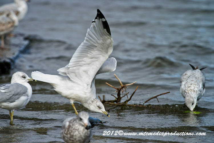 Ringbilled Gull Picture-287