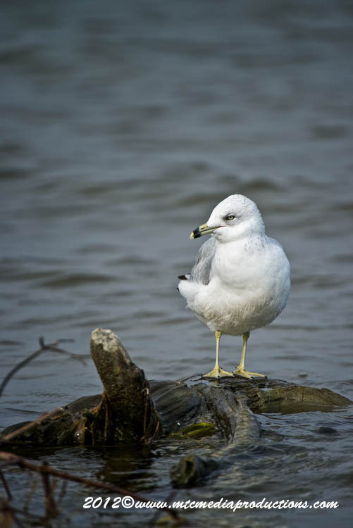Ringbilled Gull Picture-288