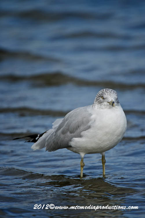 Ringbilled Gull Picture-290