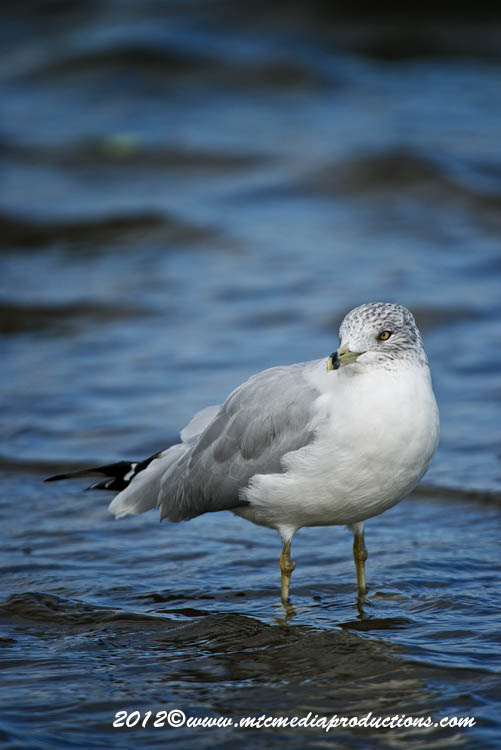 Ringbilled Gull Picture-291