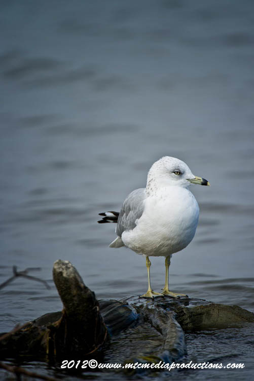 Ringbilled Gull Picture-292