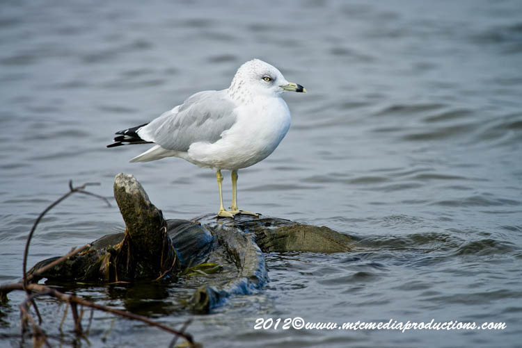 Ringbilled Gull Picture-293