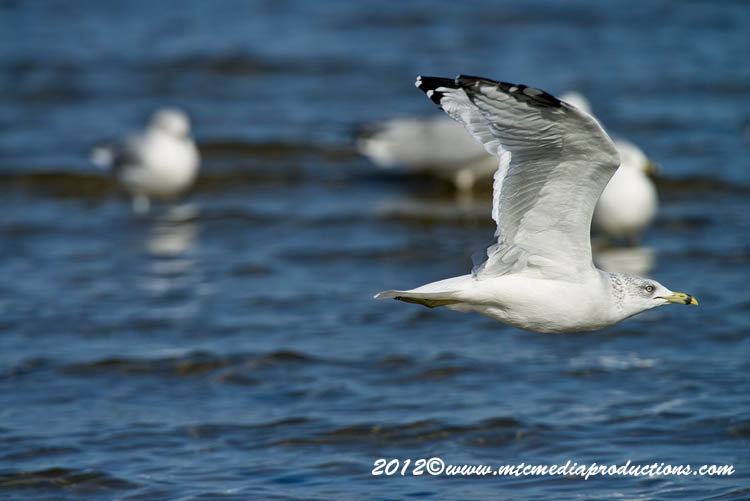 Ringbilled Gull Picture-294