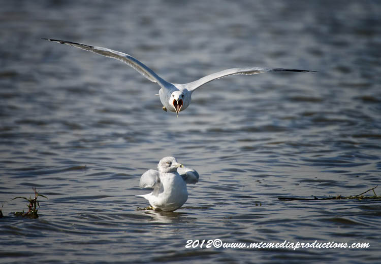 Ringbilled Gull Picture-295