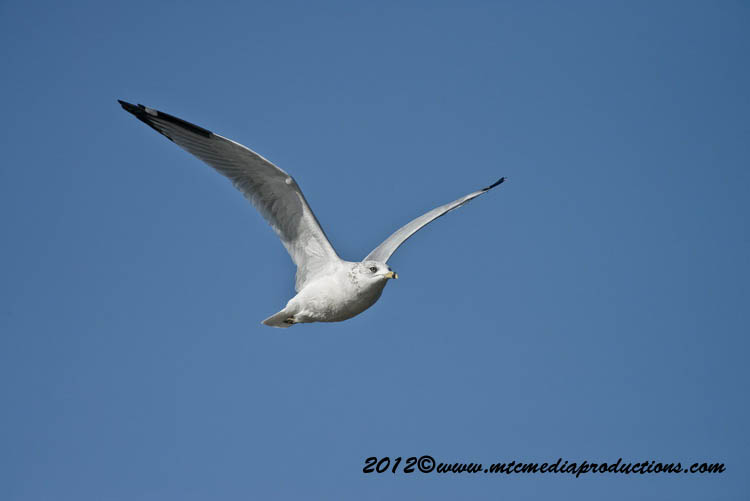 Ringbilled Gull Picture-297