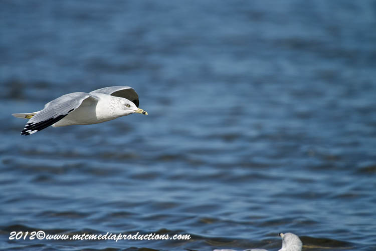 Ringbilled Gull Picture-298