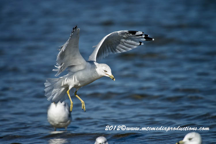 Ringbilled Gull Picture-299