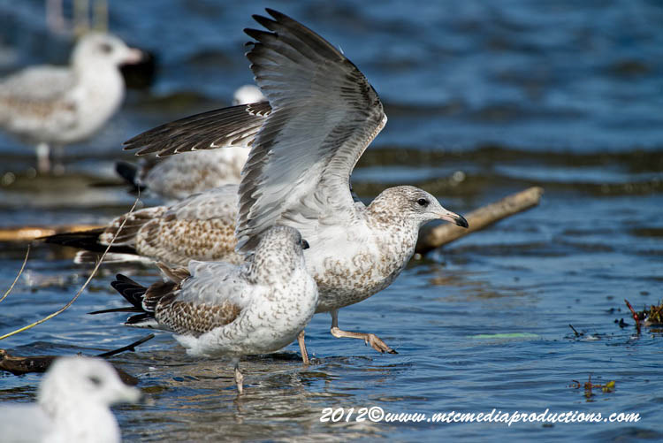 Ringbilled Gull Picture