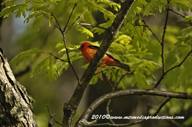 Scarlet Tanager Picture-00