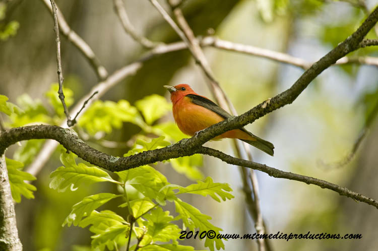 Scarlet Tanager Picture-01