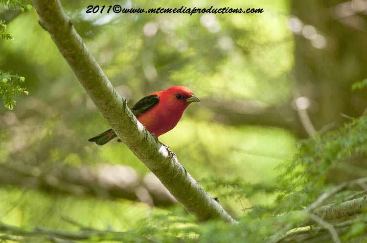 Scarlet Tanager Picture-10