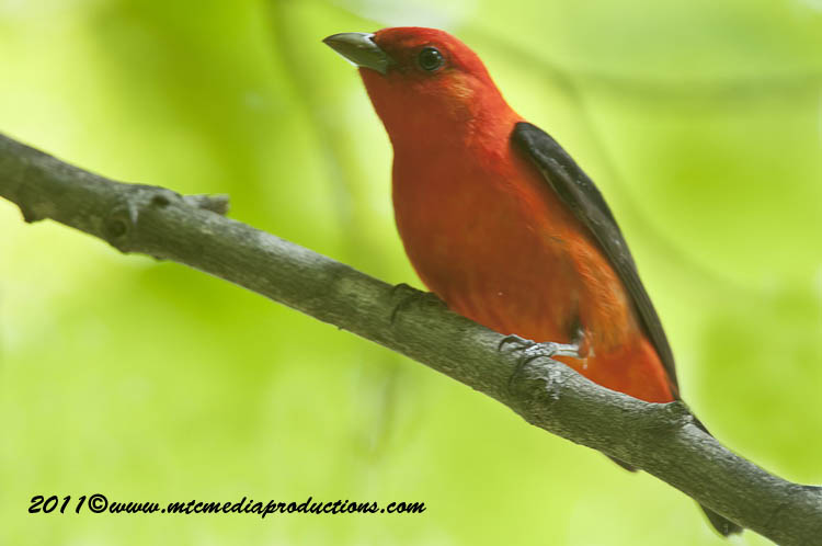Scarlet Tanager Picture-11