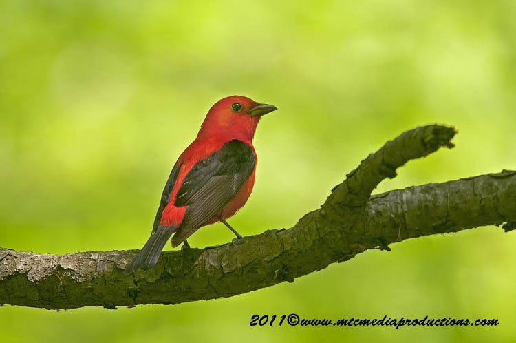 Scarlet Tanager Picture-13