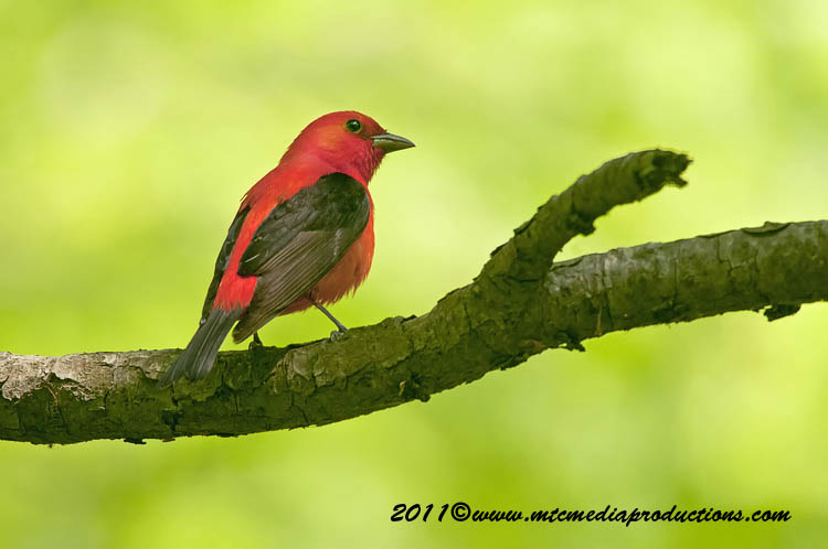 Scarlet Tanager Picture-14