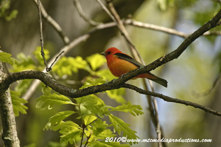 Scarlet Tanager Picture-02