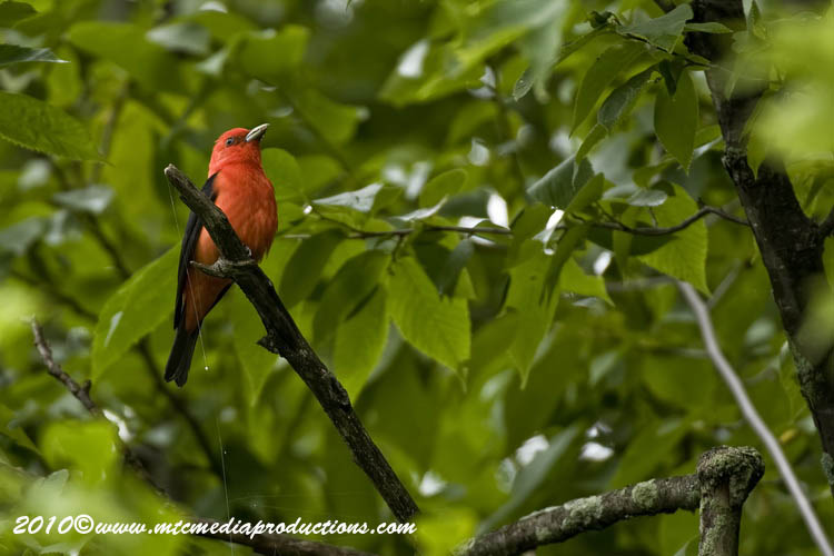Scarlet Tanager Picture-03