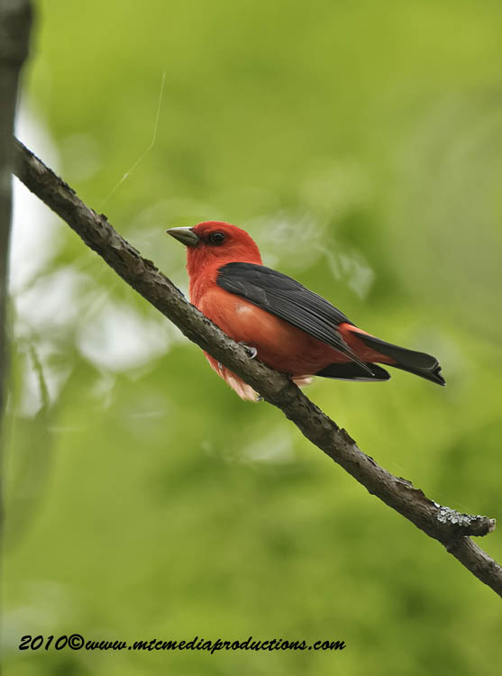 Scarlet Tanager Picture-06