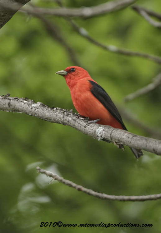 Scarlet Tanager Picture-07