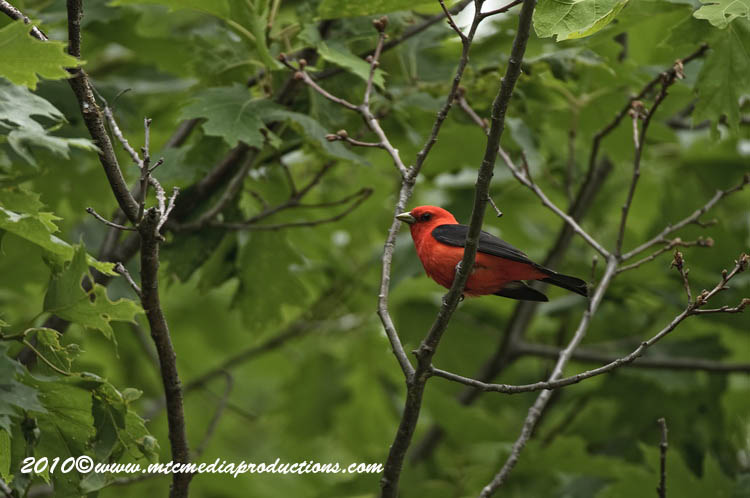 Scarlet Tanager Picture-08