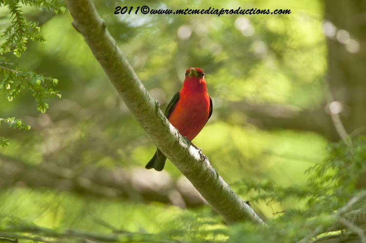 Scarlet Tanager Picture-9