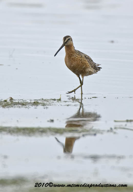 Shortbilled Dowitcher Picture-00