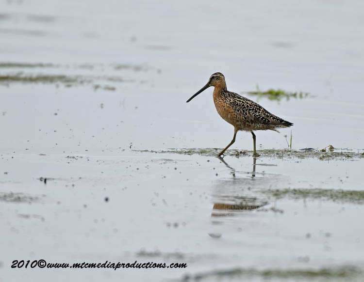 Shortbilled Dowitcher Picture-01