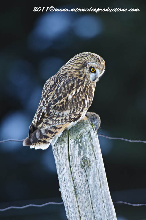Short Eared Owl Picture-01