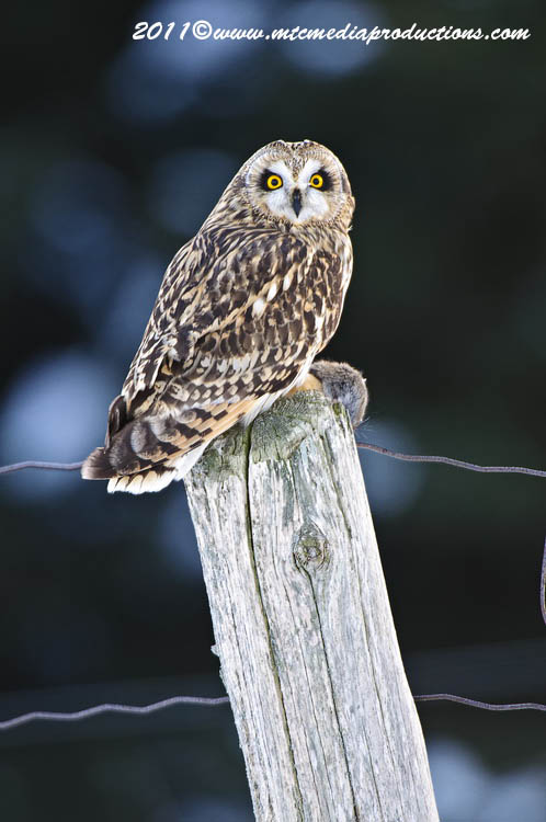 Short Eared Owl Picture-02