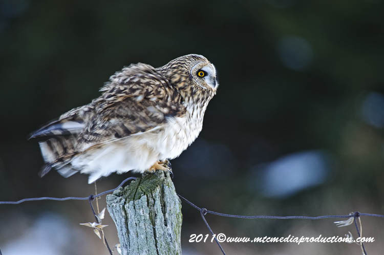 Short Eared Owl Picture-03