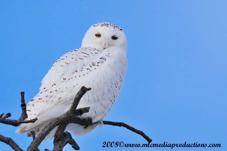 Snowy Owl Picture-00