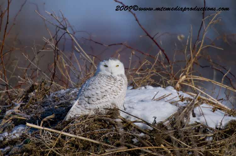 Snowy Owl Picture-01