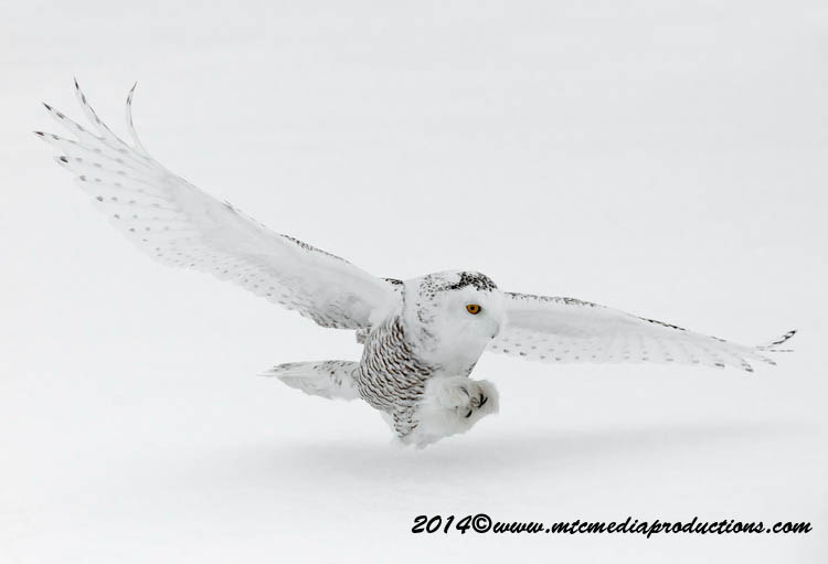 Snowy Owl Picture-10
