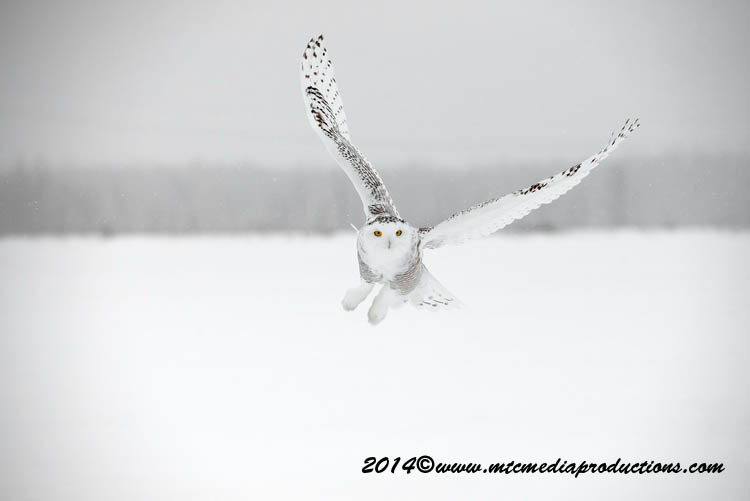 Snowy Owl Picture-11