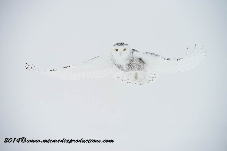 Snowy Owl Picture-12