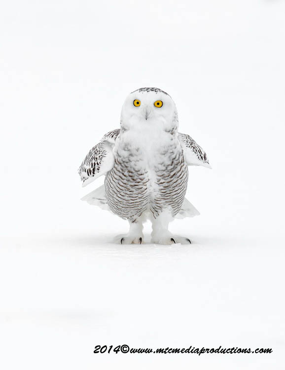 Snowy Owl Picture-13