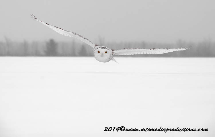 Snowy Owl Picture-14
