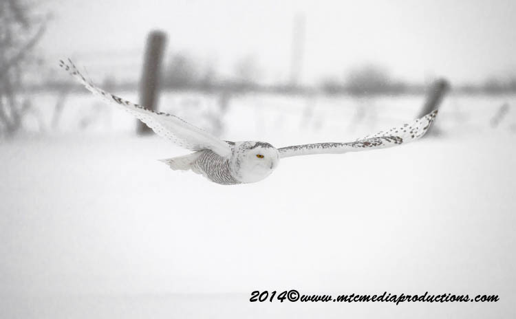 Snowy Owl Picture-15