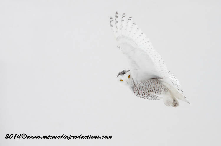 Snowy Owl Picture-16