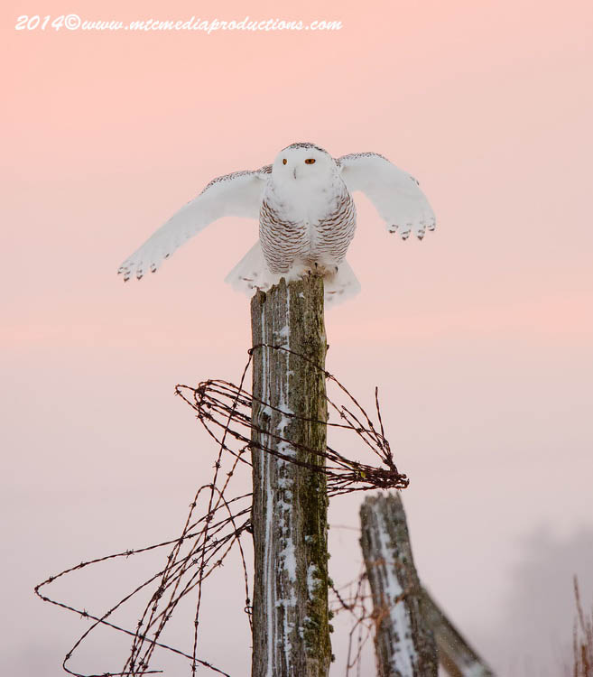 Snowy Owl Picture-17