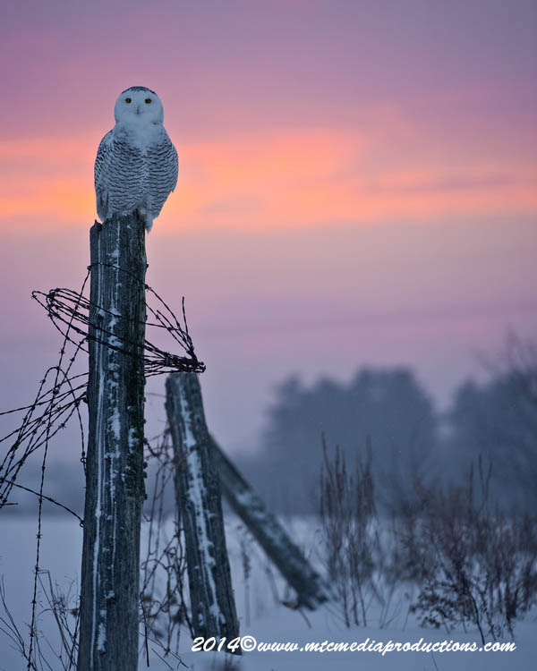 Snowy Owl Picture-18